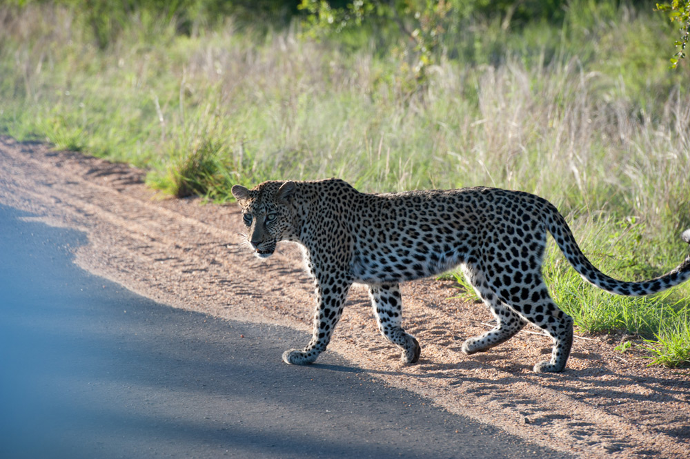 leopard-walks-across-road
