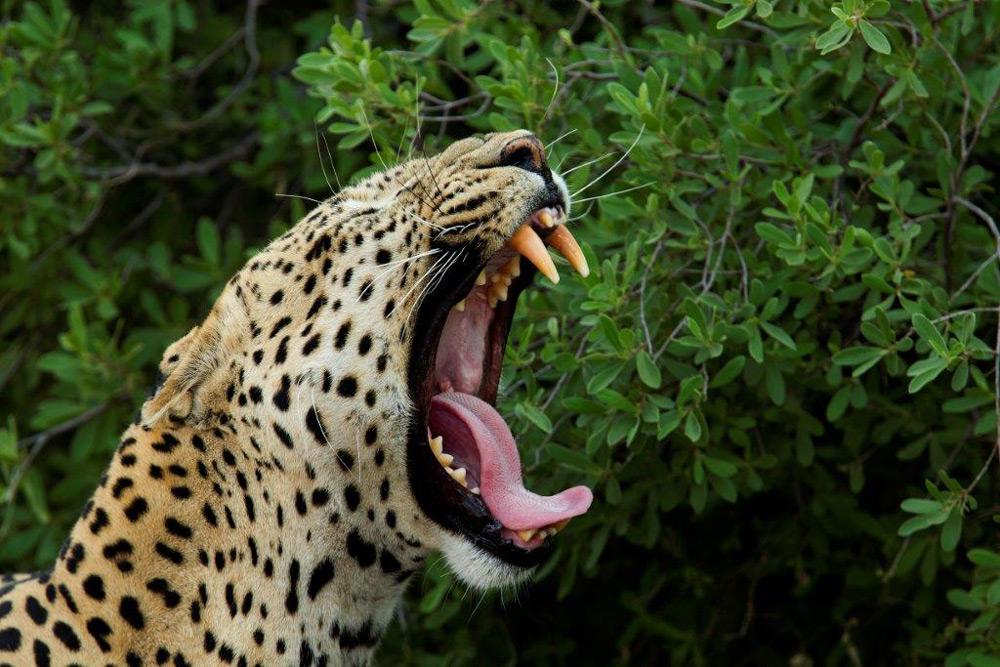 leopard-teeth