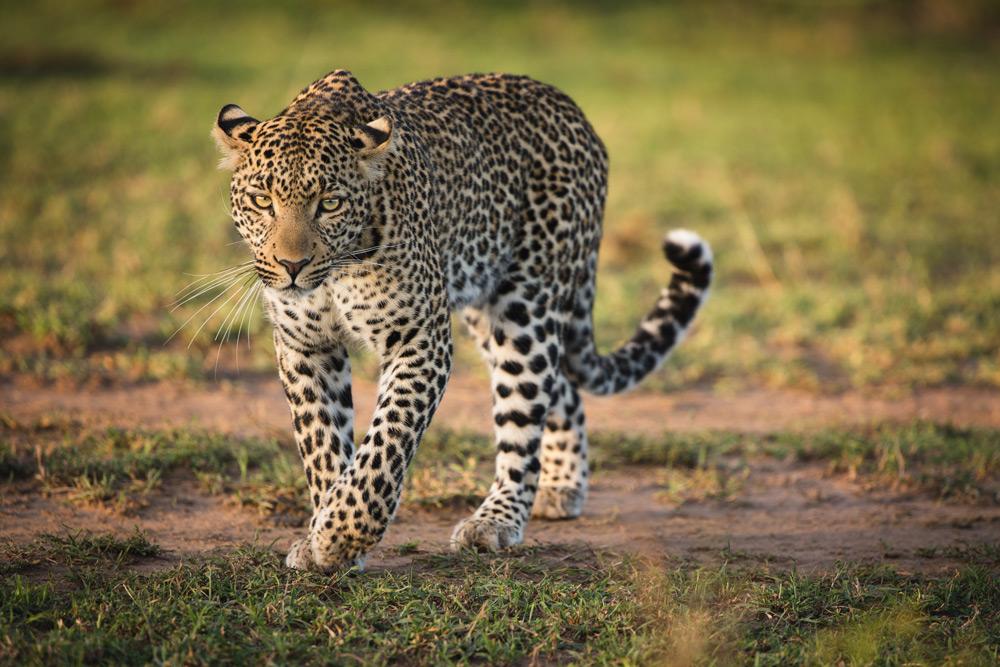 leopard-maasai-mara