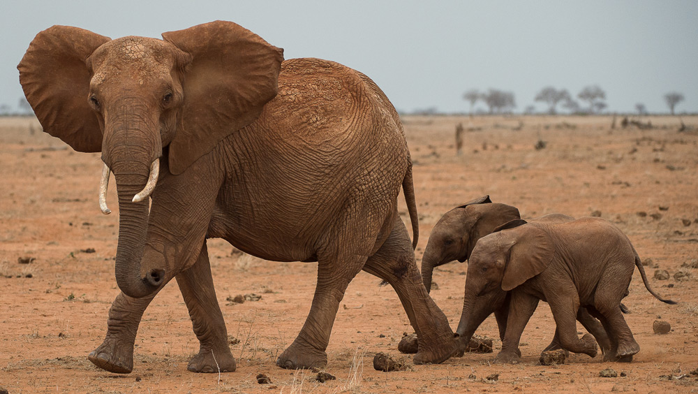 elephant-and-babies-tsavo