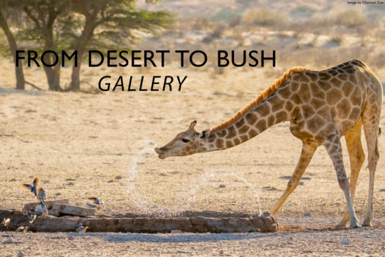 giraffe-desert-to-bush-gallery