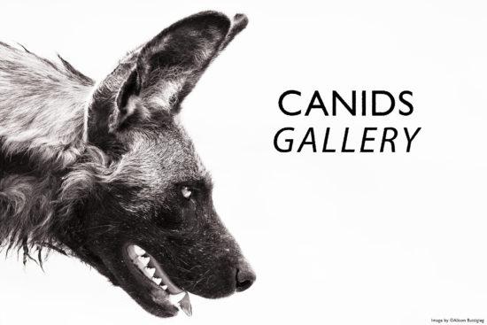canids-alison-buttigieg