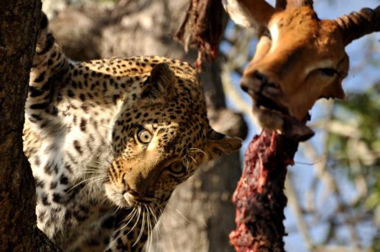 1-charlotte-krag-leopard-in-tree-with-dead-impala-sabi-sand