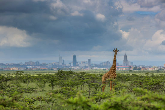 11-giraffe-at-nairobi-national-park-paras-chandaria