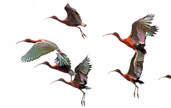 13-glossy-ibis-ilan-ossendryver-lBronkhorstspruit-outside-of-Pretoria-Gauteng