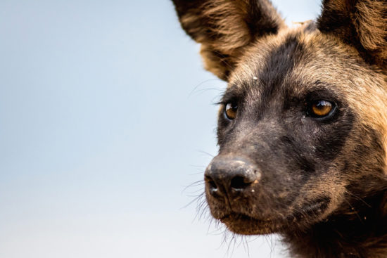 14-wild-dog-in-selous-game-reserve-jeff-trollip