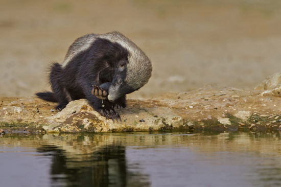 16-honey-badger-at-cubitje-quap-waterhole-in-kgalagadi-transfrontier-park-willem-kruger