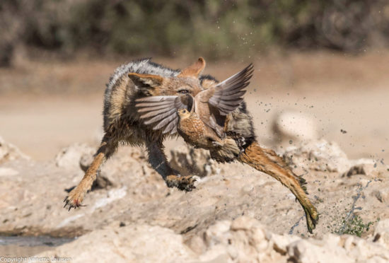 2-annette-laursen-kgalagadi-transfrontier-park-flying-jackal-catching-a-sandgrouse