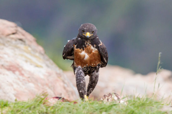 21-jackal-buzzard-giants-castle-south-africa-clint-ralph