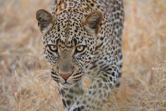 3-cameron-anderson-raffan-Ruaha-leopard