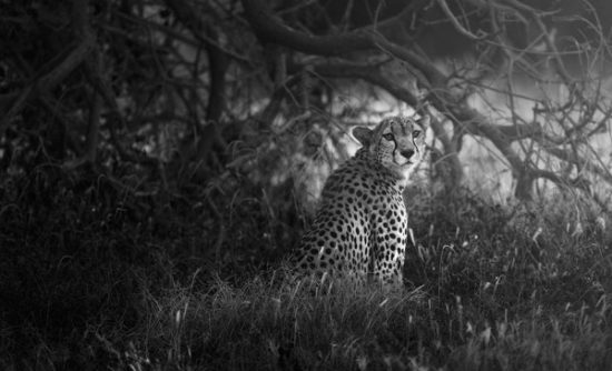 7-KARIM_SAHAI_cheetah_hiding_under_tree-Samburu-National-Reserve-Kenya
