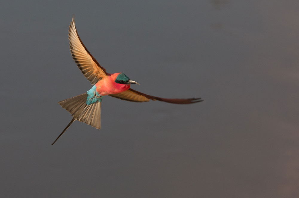 A carmine bee eater in flight © Peter Geraerdts