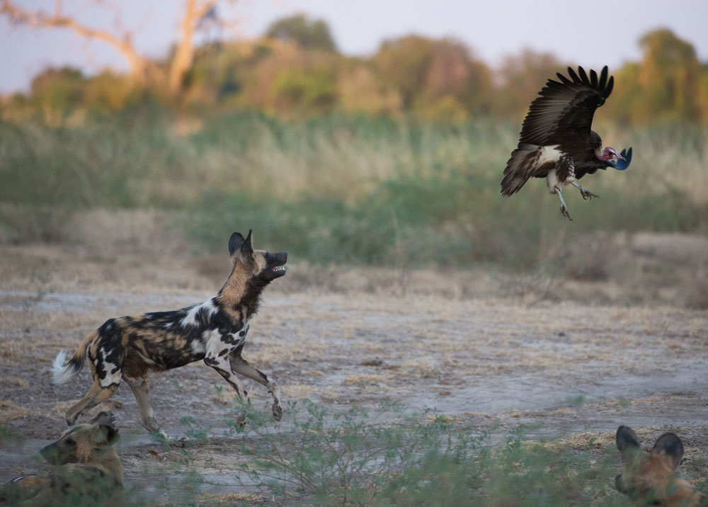 A wild dog chases a hooded vulture away in South Luangwa © Peter Geraerdts
