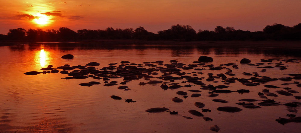 Luambe Lodge is home to one of the largest hippo pools along the Luangwa River. During the dry season several hundred hippos gather in front of the lodge.