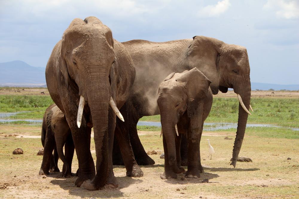 african-elephants-amboseli