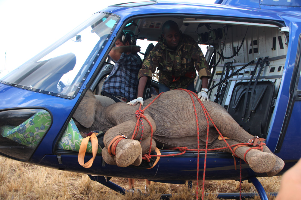 Elephant being transported in a helicopter