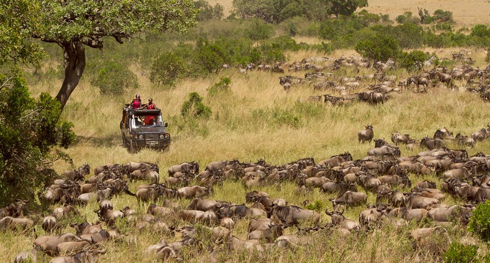 Maasai people guarding a large herd