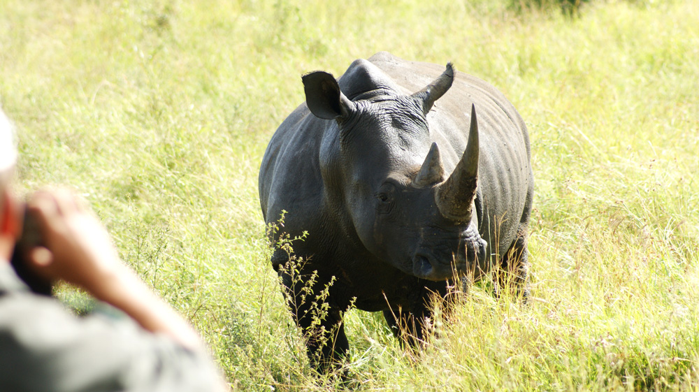 A rhino able to have a better chance of a free life after the operation