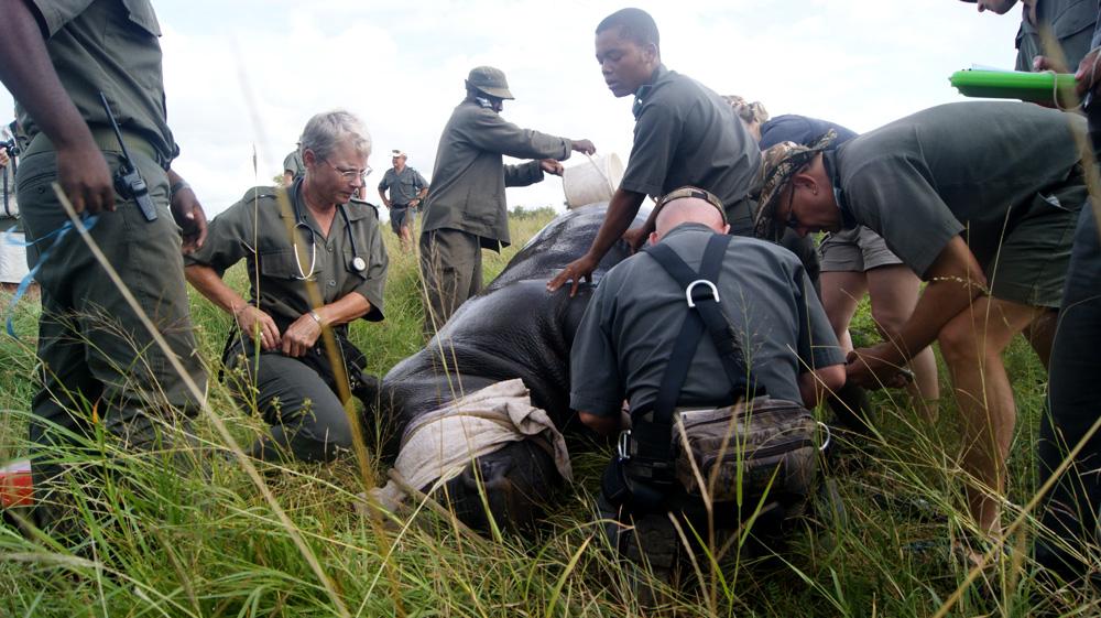 Vets darting and collaring a rhino