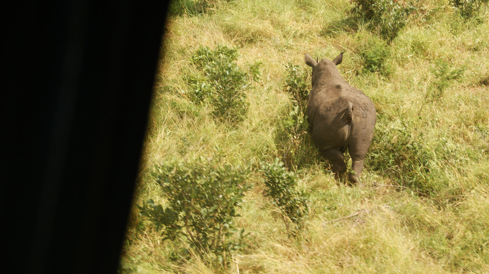 Aerial view of a rhino in the Kruger