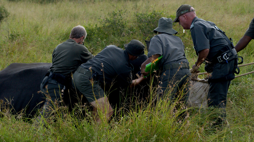 A rhino is being helped back to his feet after the operation