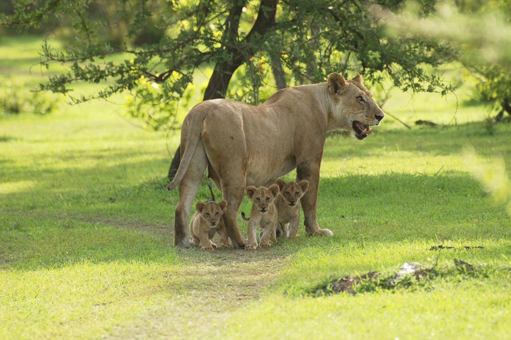 A lioness with her three cubs