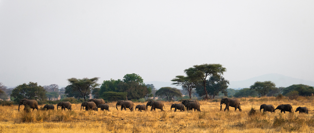 A large herd of elephants walking in the bush