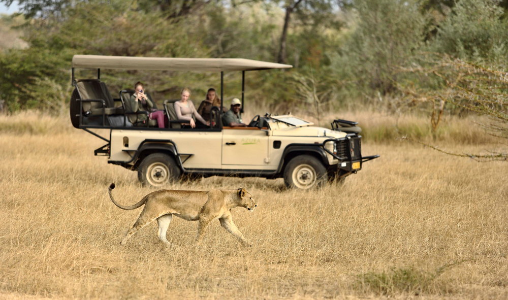 Lioness walks past a safari vehicle