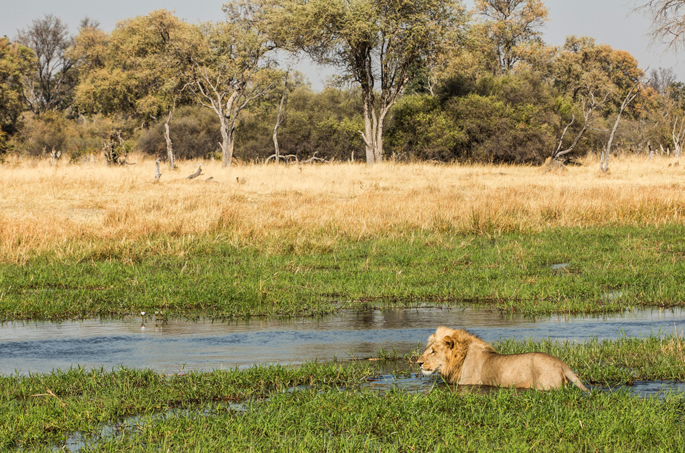 A lion making its way through the waters of the Okavango Delta