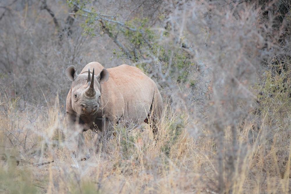 Rare black rhino spotted in the bush