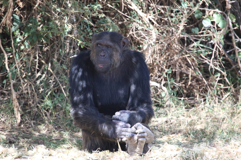 Chimpanzee sitting in the shade in Ol Pejeta