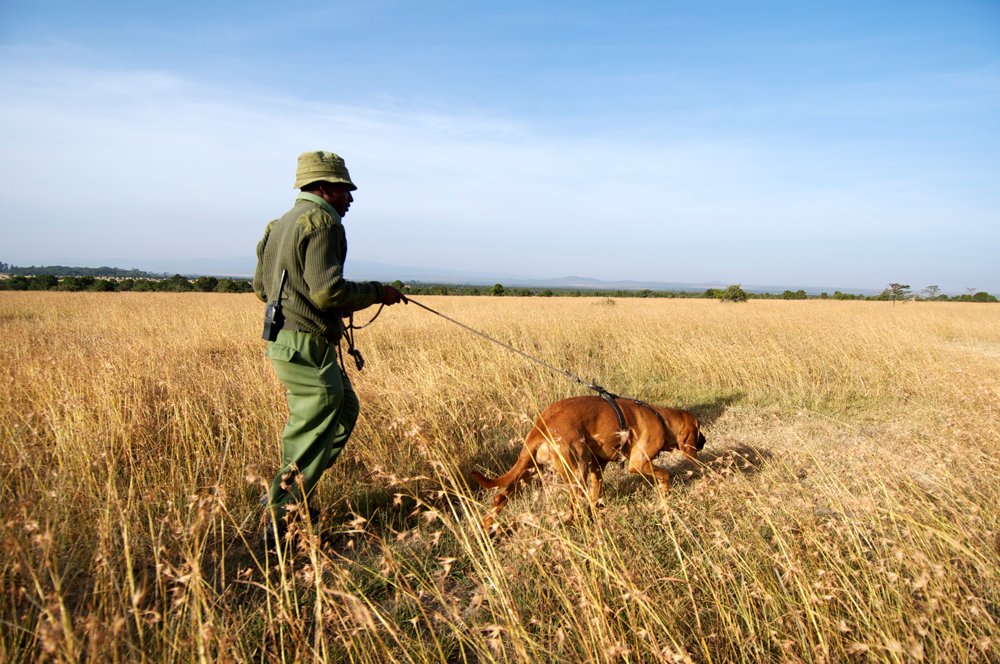 A Bloodhound and his handler at work in the field