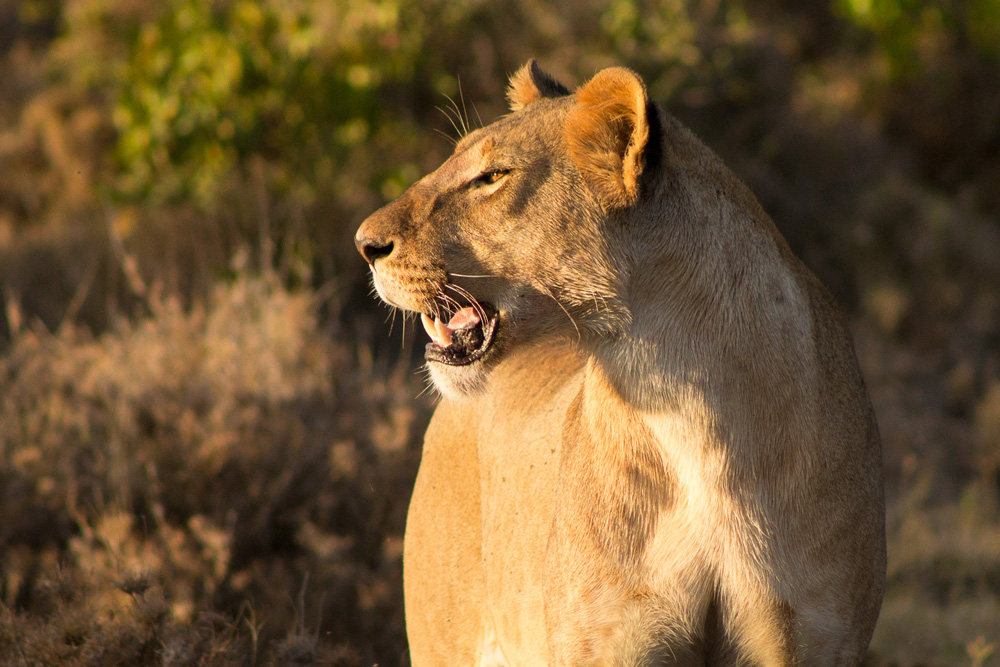 A majestic lioness is spotted in Ol Pejeta conservancy