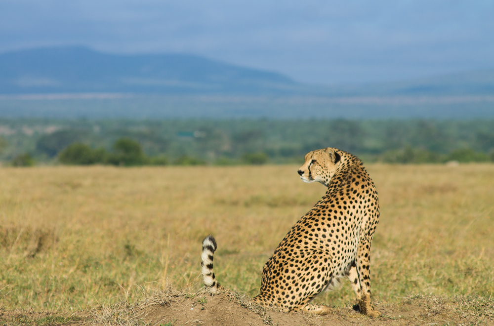A cheetah surveying the open plains of Ol Pejeta conservancy