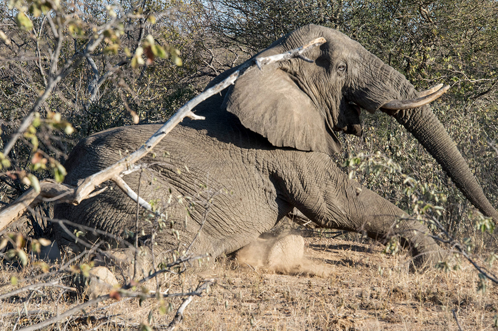 An elephant resting in the bush