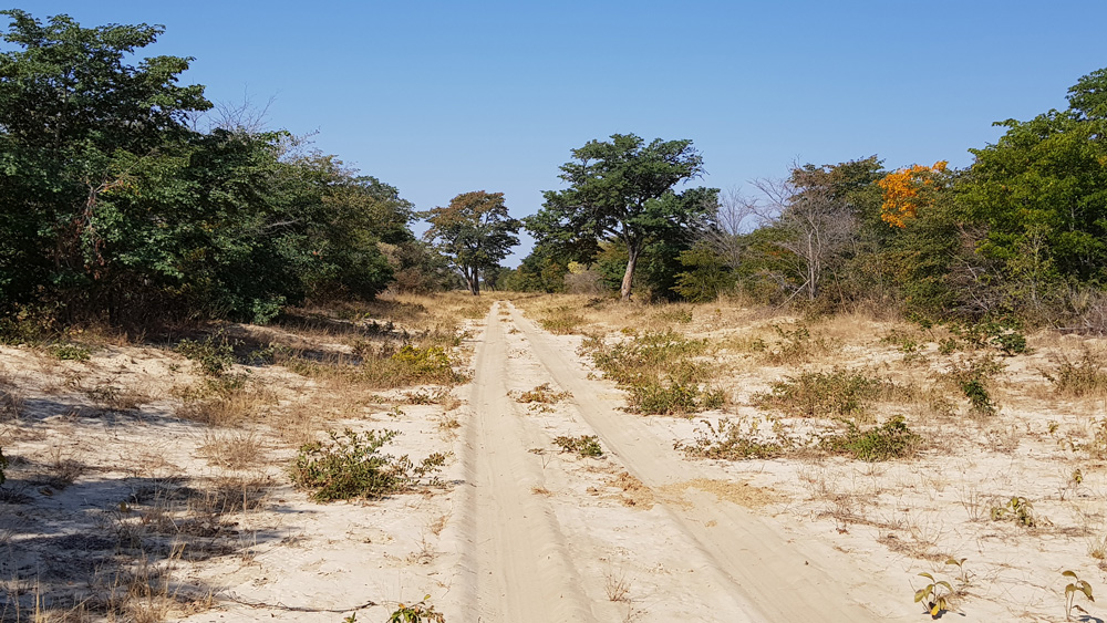 The sandy teak woodland typical of eastern Botswana.