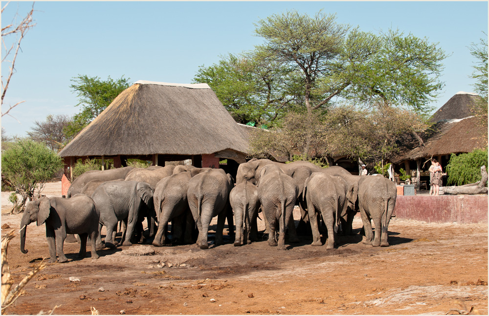 Thirsty elephants drinking water at Elephant Sands. Water for Elephants Trust, Botswana
