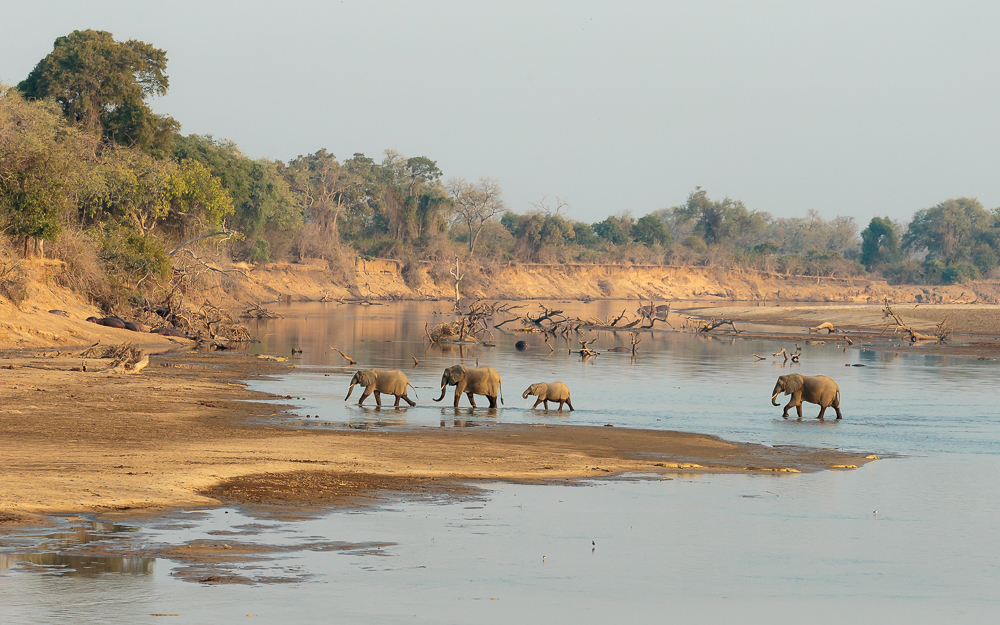 Elephants crossing the Luangwa River, Zambia.