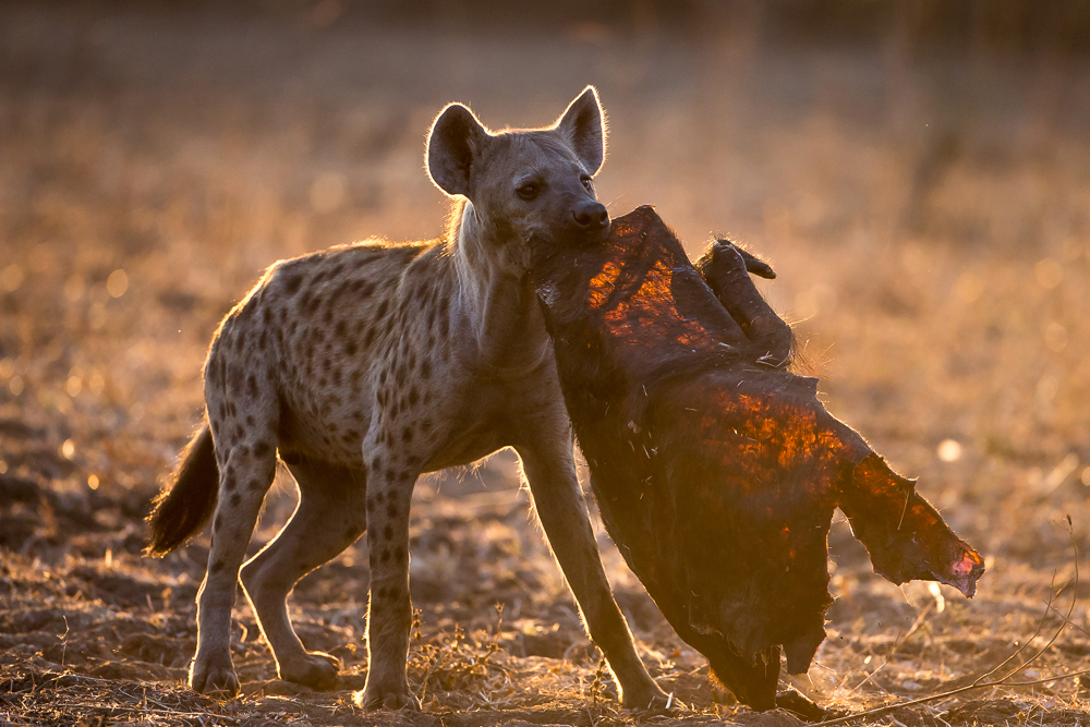 A hyena carrying a dry piece of buffalo skin