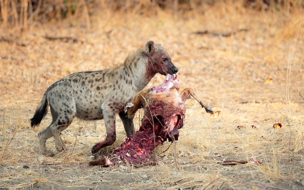 A hyena stealing a kill from a leopard