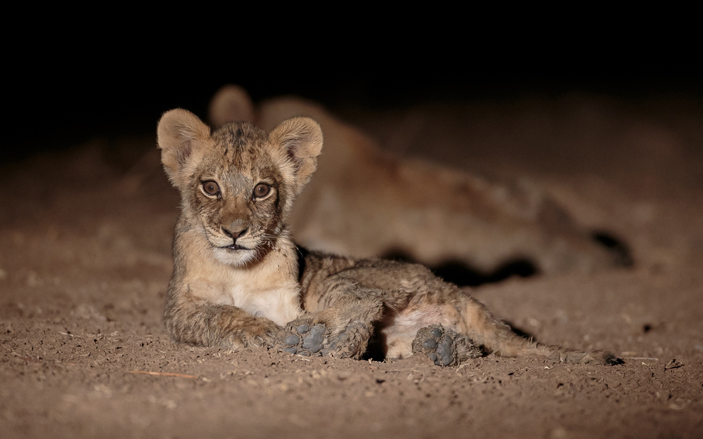 An adorable lion cub at night