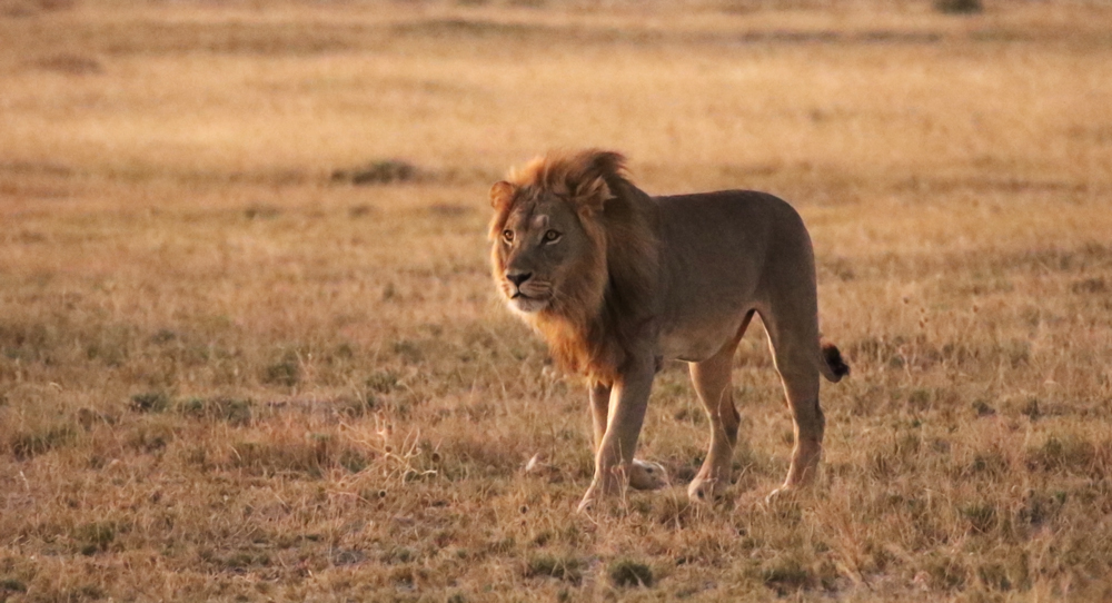 A lion standing in the grasslands
