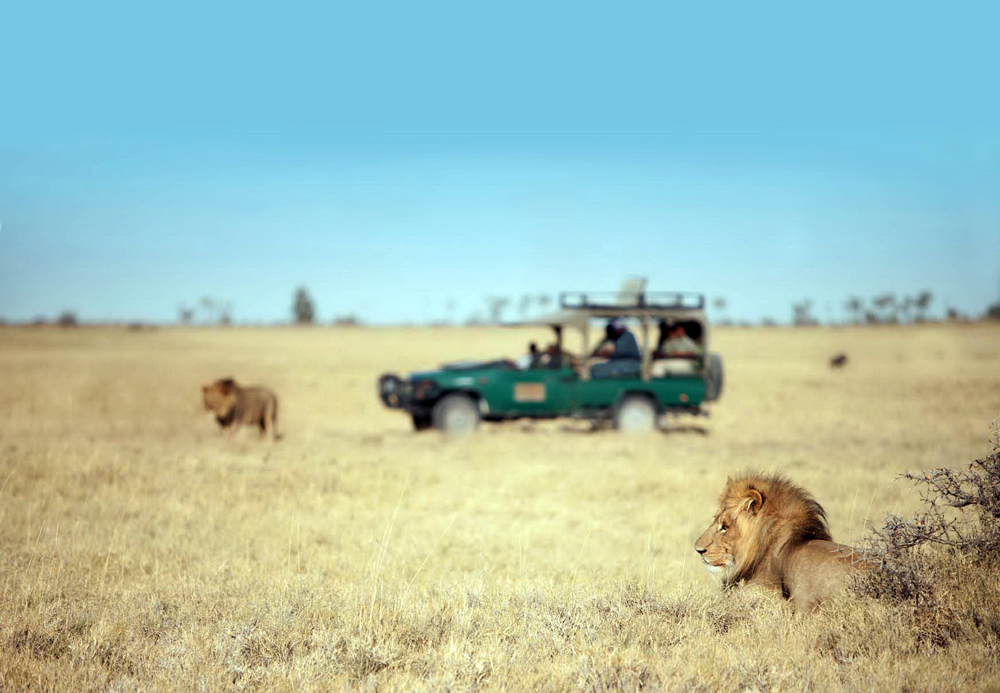 Watching lions from a safari vehicle