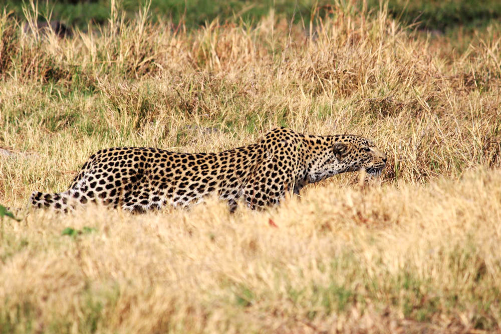 A leopard stalks through the bush in Khwai, Okavango Delta