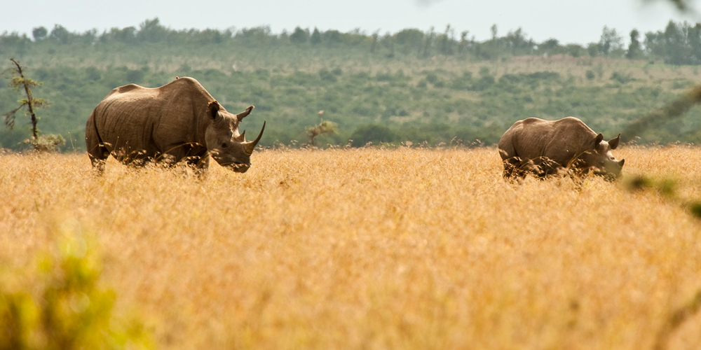 Two black rhinos walking in Ol Pejeta conservancy