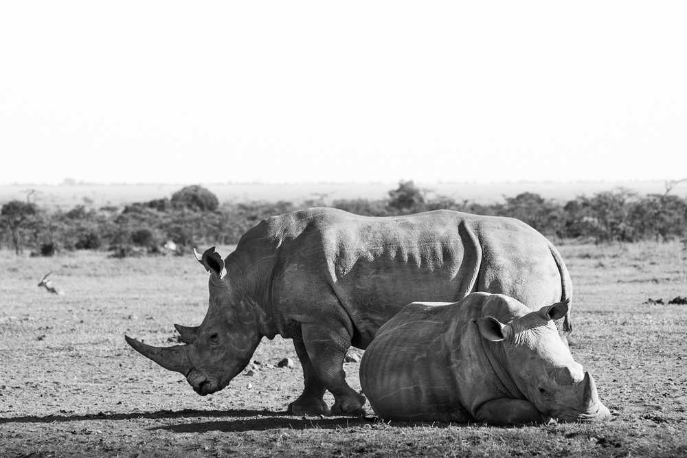 White rhinos are extinct in the wild