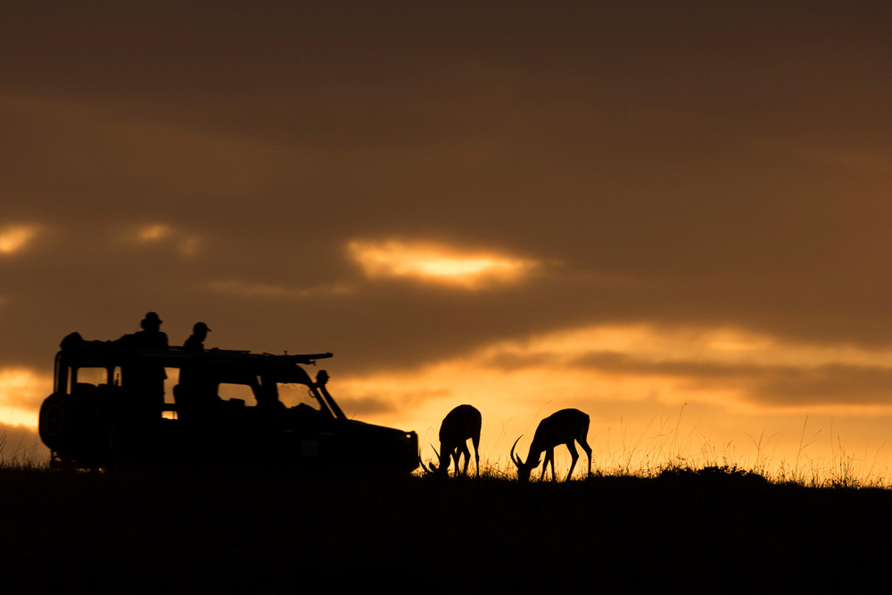Watching impalas graze at sunrise