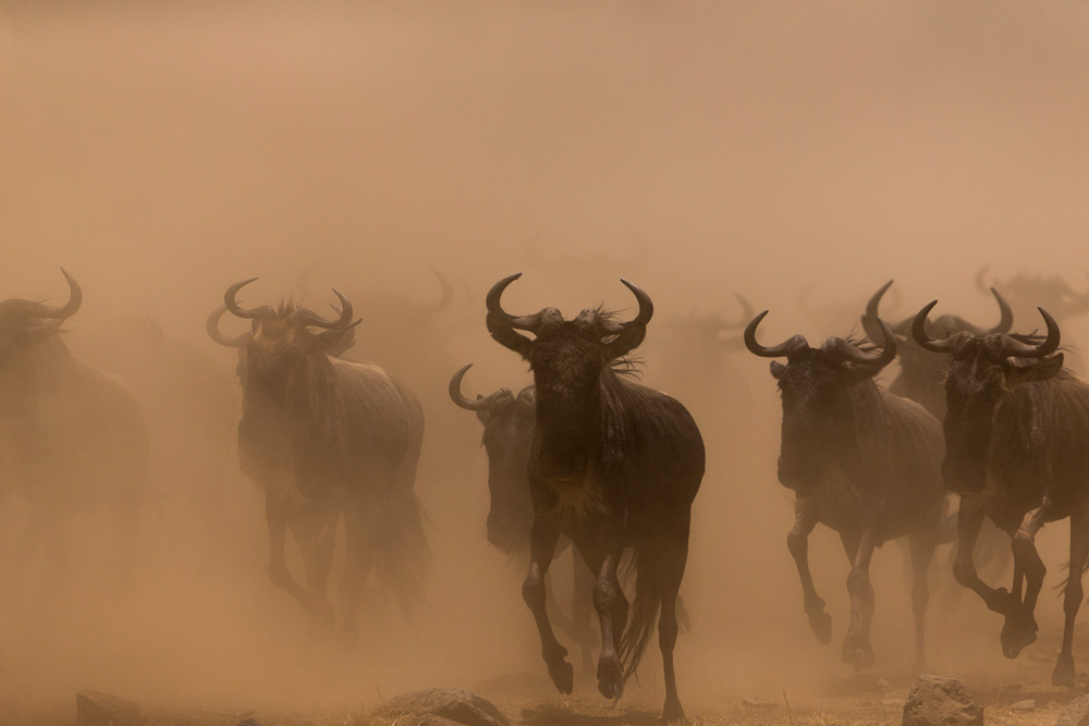 Wildebeest migration in the Maasai Mara