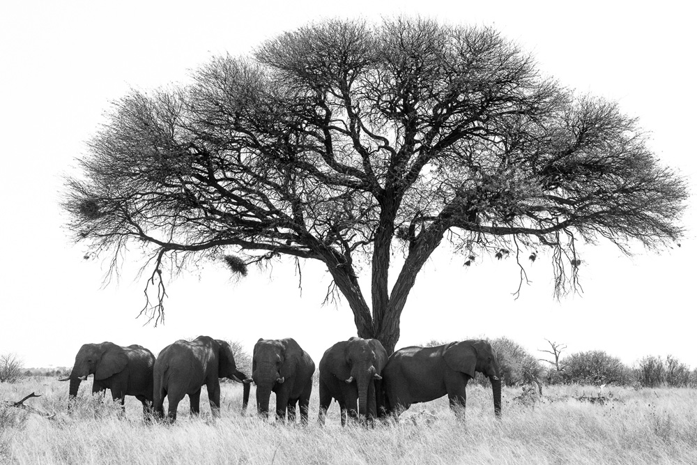 Herd of elephant bulls under an acacia tree