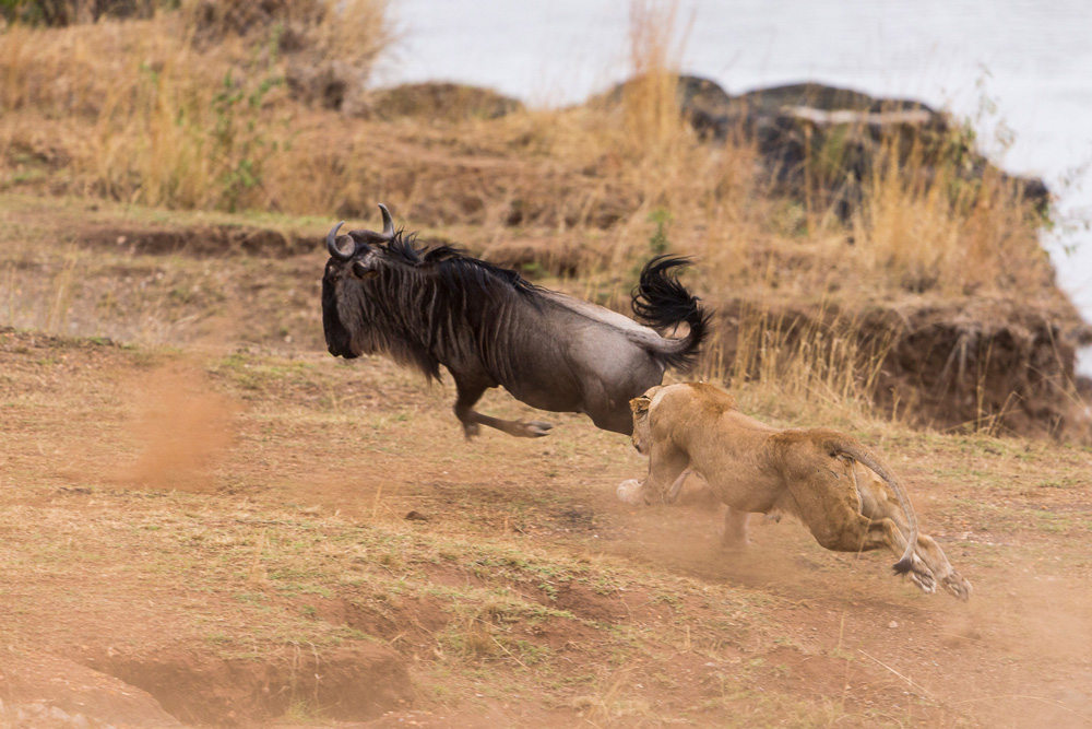Lioness chasing a wildebeest